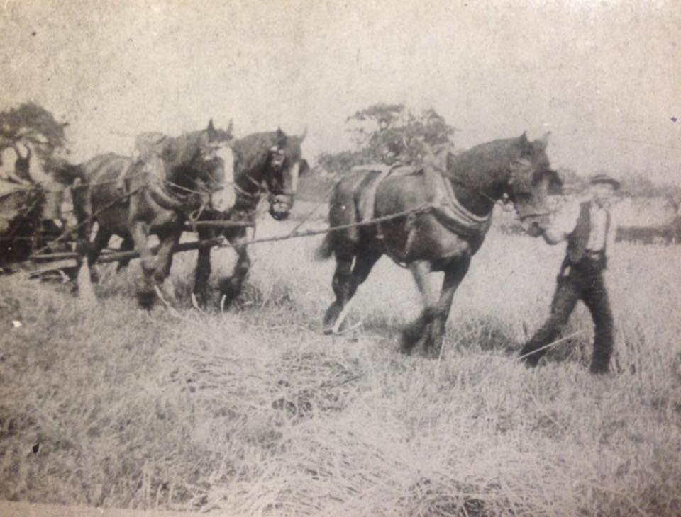 Haveley Hey Farm 1906 cutting corn.